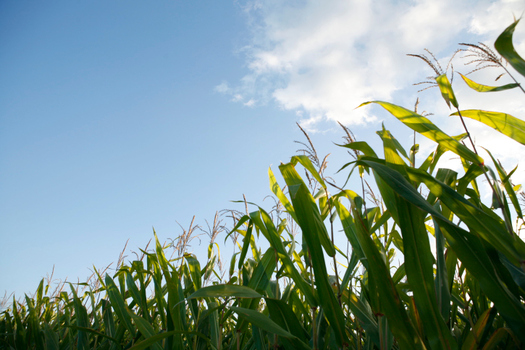A study using robots is under way to monitor weather effects on corn crops. (usda.gov)