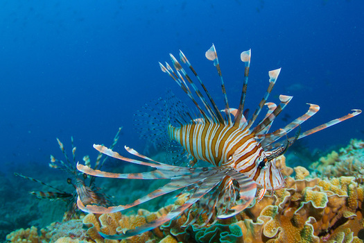 Lionfish live up to 30 years and can consume 20 fish in 30 minutes. (Tchami/Flickr)