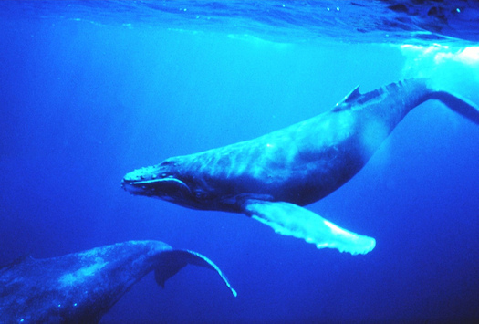 A new lawsuit contends drilling for oil in the Atlantic Ocean would threaten critical habitat for whales, fish and coral. (NOAA)