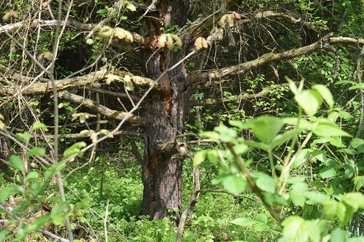 Effort Under Way to Set Aside Old Growth Forests in Every County