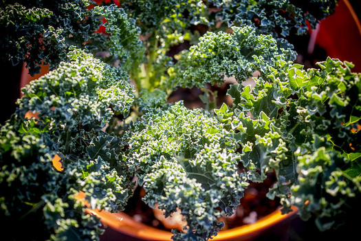 Farm workers are often paid for each bucket of kale they pick on North Carolina farms. (Dennis Amith/flickr.com)