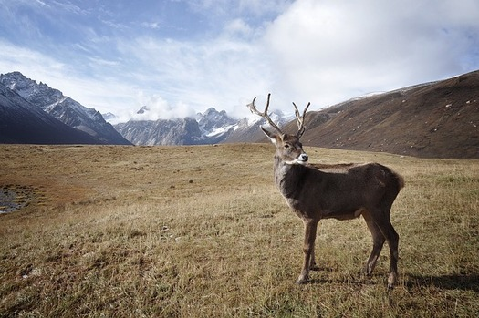 Proposed drilling in the Arctic National Wildlife Refuge could disrupt the Porcupine caribou's migration and calving, advocates say. (Pixabay)