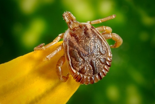 There are more ticks in Wyoming this summer because temperatures didn't drop as much during the winter months. Experts advise precautions. (Pixabay)