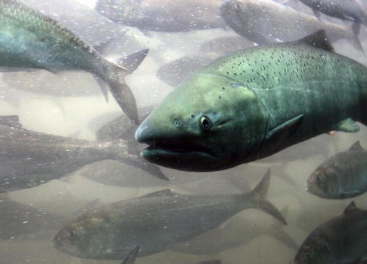 Suction dredge mining disrupts spawning and rearing areas for salmon. (Jeff T. Green/Getty Images)