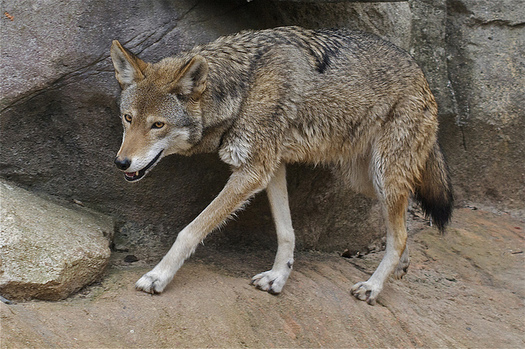 The U.S. Fish and Wildlife Service is taking public comment on the future of the Red Wolf Recovery Program. (Valerie/Flickr)