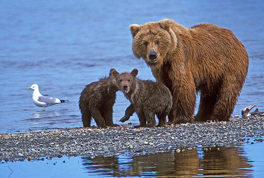 The U.S. Fish and Wildlife Service has taken grizzlies off the Endangered Species List after more than four decades of protection. (beingmyself/Flickr)