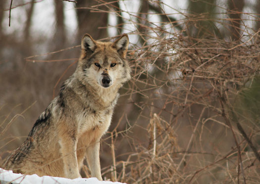 Conservation groups say New Mexico and Arizona are at a tipping point for the recovery of Mexican gray wolves in the wild. (Defenders of Wildlife)