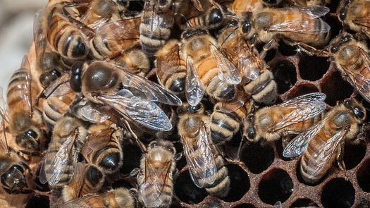 A recent study linked pesticides known as neonicotinoids to drops in bee colony numbers. (Lance Cheung/U.S. Dept. of Agriculture)