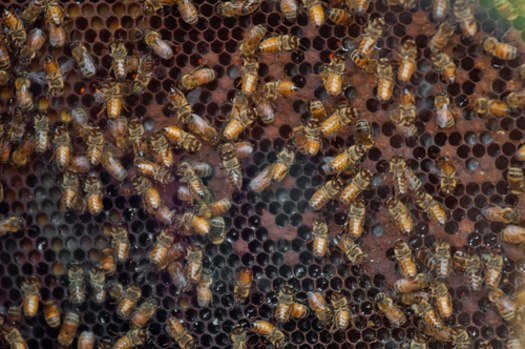 Bees are important pollinators, but in the past year, bee populations nationwide have dropped by one-third. (USDA)