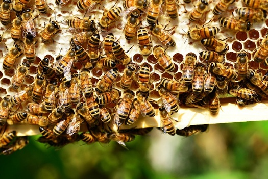 Bees are important pollinators for plants and flowers, but in the past year, populations nationwide have dropped by one-third. (Pixabay)