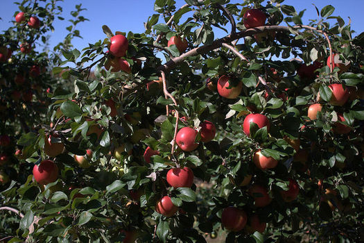 Apples, oranges, strawberries and many food staples are treated with chlorpyrifos. (MikeyMoose/Wikimedia Commons)