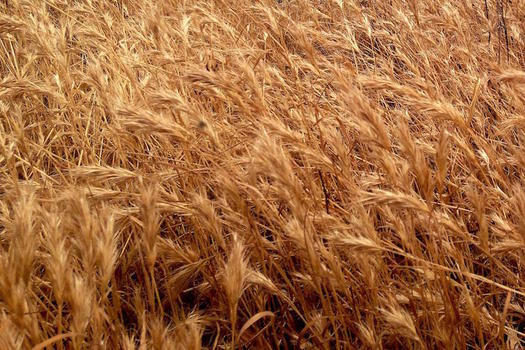 Climate change is reducing the amount of protein and vitamins in wheat and other grains. (diannehope/morguefile)