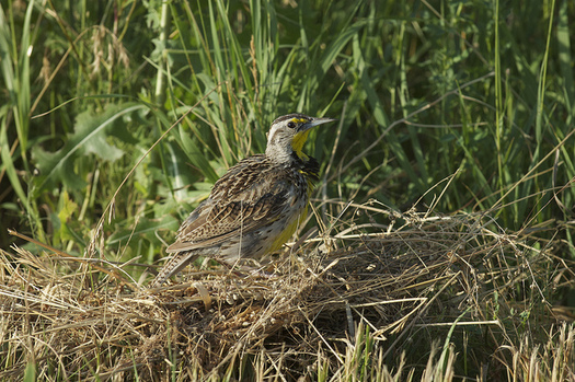Researchers say conservation provisions in the Farm Bill have helped stabilize some grassland bird populations, including the western meadowlark. (bwinesett/Flickr)