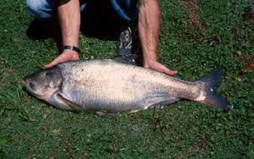 Asian carp can wreak havoc on native species, and one state is hoping a hefty prize can prompt people to find ways to keep them out of the Great Lakes. (dnr.gov)