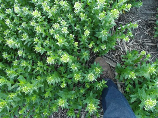 Iowa researchers studied cover crops ranging from turnips to radishes to pennycress, as seen here. (Practical Farmers of Iowa)