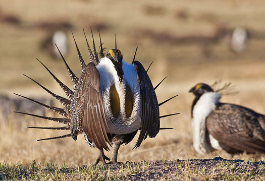In 2015, the U.S. Departments of Interior and Agriculture completed plans to manage the greater sage-grouse's habitat across 70 million acres in 11 Western states. (U.S. Bureau of Land Management)