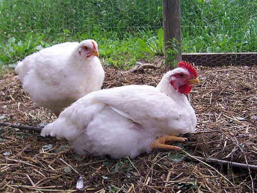 The popularity of backyard chickens is believed to be a factor in the rise in salmonella cases. (Thunder Circus/flickr)