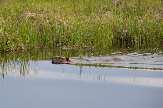 Beavers were nearly wiped out in the Northwest a century ago. (Yellowstone National Park/Flickr)
