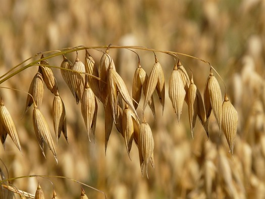 Oats are known for their hardiness but they're also a cheap source of animal feed and bedding. (Hans Braxmeier/Pixabay)
