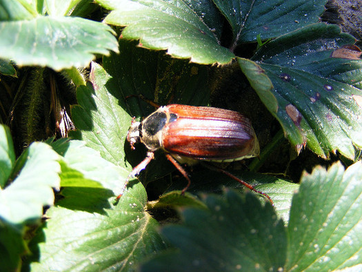 Bugs such as the beetle are integral to rejuvenating soil, also making them vital to people who work the land. (miss Murasaki/Flickr)