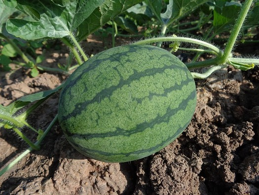When floodwaters covered most of the land farmed by Kelly Jackson's father, he planted watermelons to get by. Those watermelons, however, weren't covered by insurance. (Pun Kaset/Pixabay)