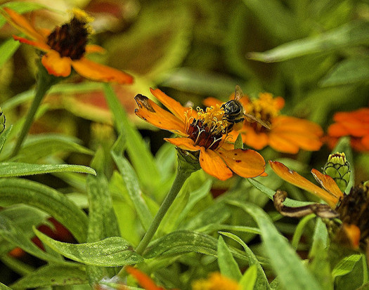 Researchers say bees are responsible for one in every three bites of food we eat. (Mario/Flickr)