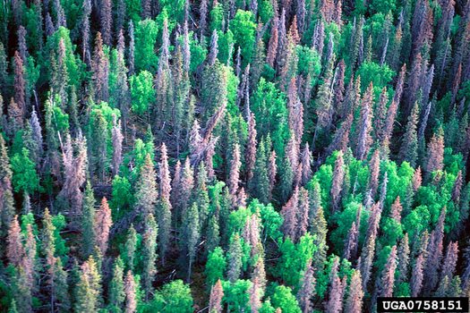 In 2016, bark beetles destroyed nearly 50,000 acres of forest in Montana, according to the U.S. Forest Service. (William M. Ciesla/Forest Health Management International)