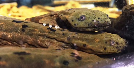 Inadequate sewage systems destroy the habitats of the Ozark hellbender salamander. (Jeromy Applegate/USFWS)