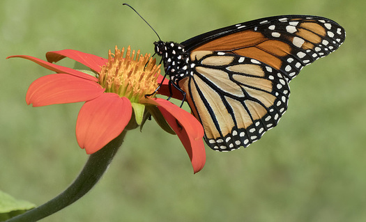 One third of all the food we eat is the direct result of pollinators such as the monarch butterfly, according to a Cornell study. (C Watts/Flickr)