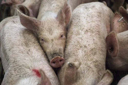 Iowa's pig and hog population is more than 22 million according to the USDA � more than double the state's nearest pork production rival, North Carolina. (afnewsagency/Pixabay)