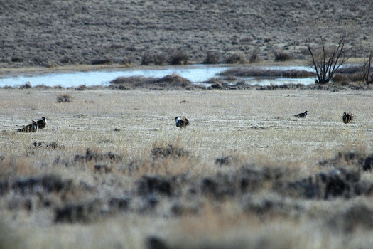 The sage-grouse habitat stretches across 11 Western states, including Montana. (Katie Theule/USFWS)