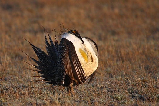 The fate of the greater sage grouse is considered to be linked to 350 other species including elk, pronghorn and golden eagles. (Pixabay)
