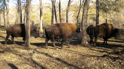 A buffalo from the herd on tribal lands at Prairie Island will be harvested during the Minnesota Indian Education Conference, which runs through Friday. (USFWS/FlickR)