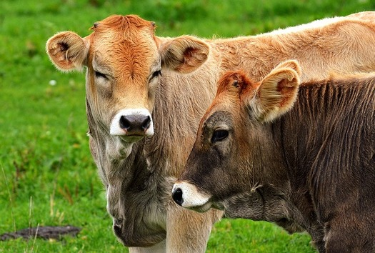 Despite growing demand, only about 5 percent of milk sold in the United States comes from organic farms. (Pixabay)