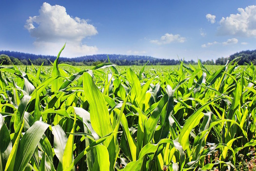 More than 7 million acres of grassland and forest has been converted to agricultural production for ethanol production. (GregMontani/Pixabay)