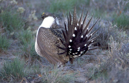 The deadline for public comments on changes to sage-grouse habitat conservation plans was extended to Friday. (US Fish & Wildlife Service)