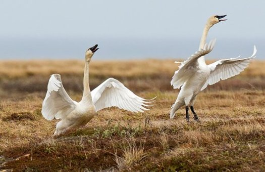 Tundra swans take off in the Alaska National Wildlife Refuge. (William Pohley)