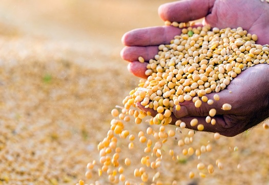 Soybeans are Arkansas�s largest agricultural export, but a labeling change proposed by the FDA could affect sales. (photokostic/GettyImages)