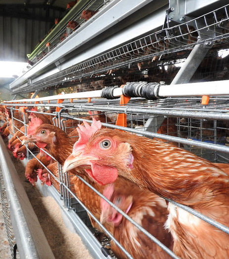 The National Chicken Council says allowing poultry processors to operate at faster speeds would not create food-safety issues. (Pixabay)