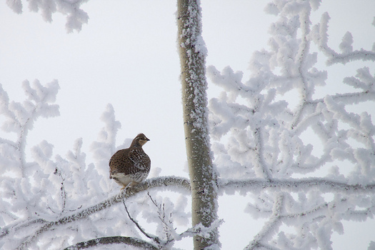 Wildlife management plans in Washington have helped conserve the sharp-tailed grouse, but not all threatened species are so lucky. (tuchodi/Flickr)