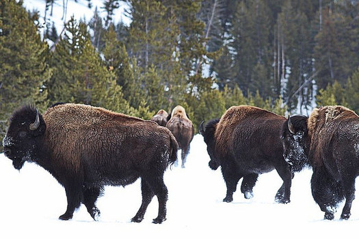 There are no cases of bison transferring the disease brucellosis to livestock, studies show. (Debeo Morium/Flickr)