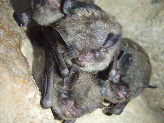 New legislation aims to save species before they require the Endangered Species Act. The Indiana Bat is currently an endangered species in Kentucky. (Ann Froschauer/ Celley/USFWS)