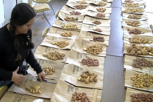 Papa criollo potatoes from South America could be a new sustainable crop for New Mexico farmers.  (NMSU)