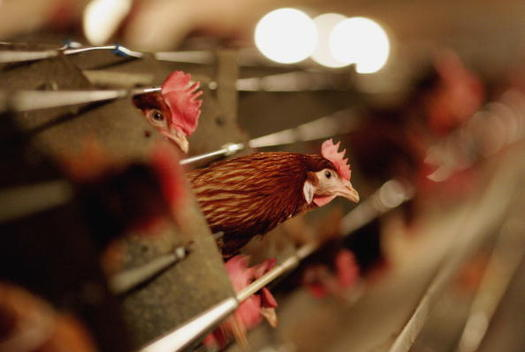 Food-safety advocates say faster production line speeds would jeopardize the safety of poultry workers, as well as the safety of the finished product. (Getty Images)