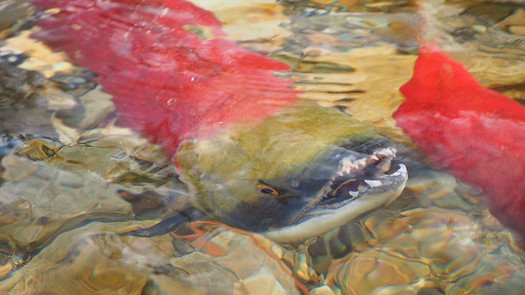 Conservation groups say the lower Snake River dams need to come down if salmon populations in the Northwest are to recover. (Wilson Hui/Flickr)