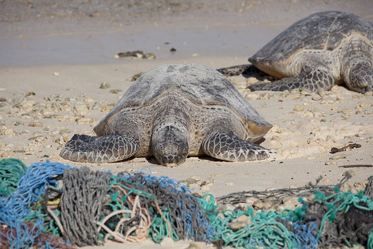 A new report highlights the threats fishing nets pose to sea turtles, which will continue in California now that the feds have withdrawn a proposed rule designed to protect them. (NOAA)