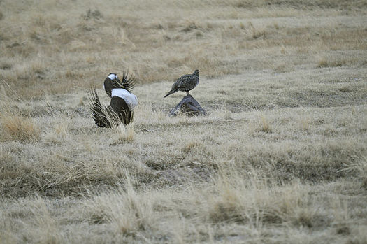 The Trump administration has recommended changes to the greater sage-grouse land management plan that could open up more of its habitat to oil and gas development. (Jeannie Stafford/US Forest Service)