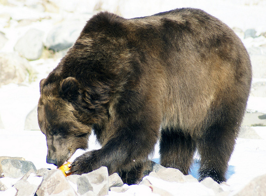 Grizzly bears occupy less than 5 percent of their historic range, conservation groups say. (Ellie Attebery/Flickr)