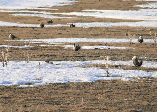 Oregon's U.S. senators have criticized the Interior Department's proposed changes the sage-grouse conservation plan. (Nick Myatt/Oregon Dept. of Fish and Wildlife)
