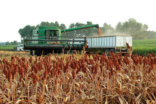 Arkansas ranks ninth in the nation in the value of grain sorghum produced annually, exporting the majority of it to China. (Arkansas Farm Bureau)